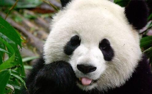 Pandas-Pandas Everywhere
